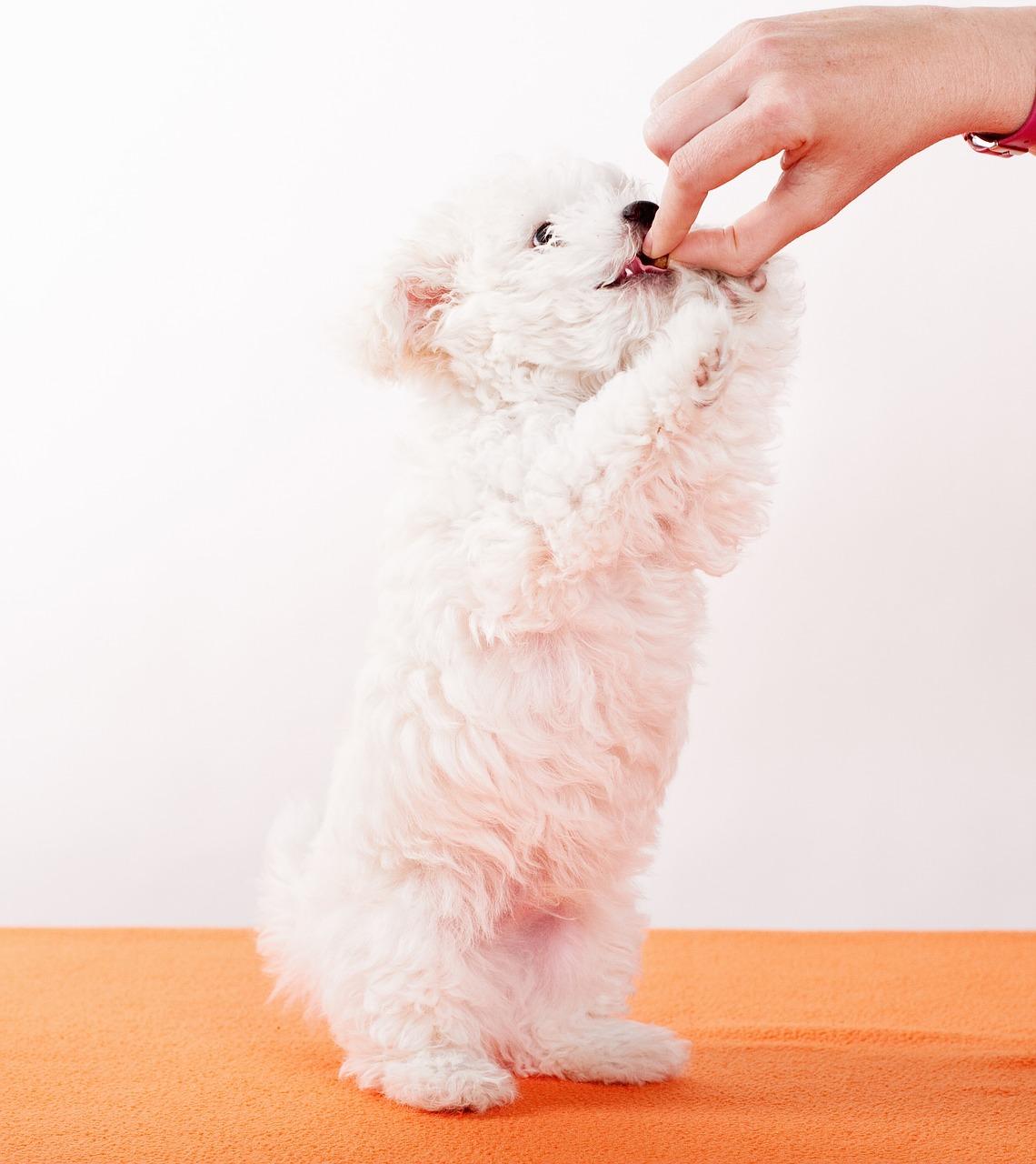 おやつを食べる子犬