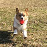 【子犬用もあります!】コングは子犬との遊びやしつけに大活躍の知育玩具。その活用術7選!