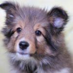 子犬がトイレを失敗する3つの理由とその対策