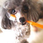 【獣医師監修】歯磨きが好きになる!子犬も飼い主もストレスなくできる練習のコツとは?