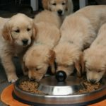 子犬のためのドッグフード選びのポイントとおすすめ5選【獣医師目線】