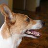 歯磨きが大変な方必見!犬の歯磨きが楽になる「頻度」とは?