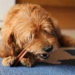【子犬の歯磨き】はじめる時期が大切!いつからスタートする?