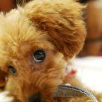 【獣医師監修】子犬の避妊手術の時期、「若いうちに」って、具体的にはいつ?