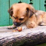 犬が拾い食い!危険なNG行為ととるべき対応【獣医師監修】