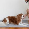 犬の伏せの教え方。4STEPでしっかりマスター