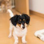 犬が血尿したかも…色や観察のポイントは?緊急性の判断や原因は?【獣医師監修】