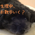 愛犬の生理中、散歩をしても良いの?気を付けることは何?【獣医師監修】