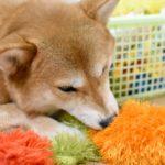 愛犬が一人遊び上手だとメリットいっぱい!【注意点とコツ、オススメの一人遊び4選】