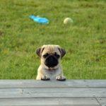 犬の不妊手術。知っておきたい基礎知識と実際の流れ【獣医師監修】