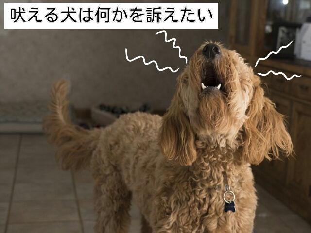 犬が吠える理由は「何かを訴えたい」から