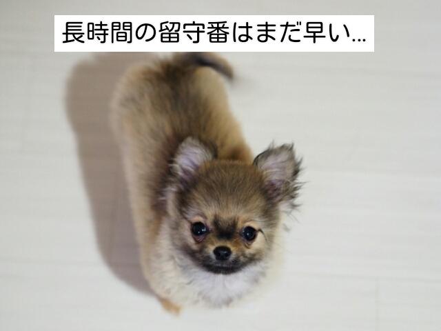 子犬のうちは社会化が必用なので長時間の留守番は避けるべき