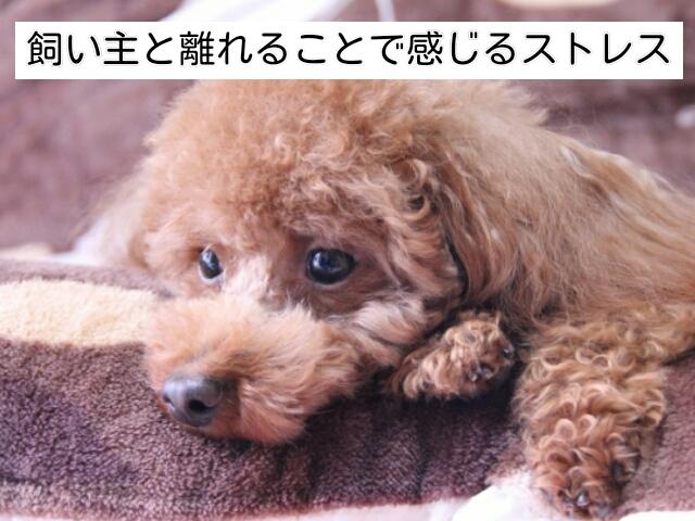 犬は留守番のとき、飼い主から離れることへのストレスを感じる