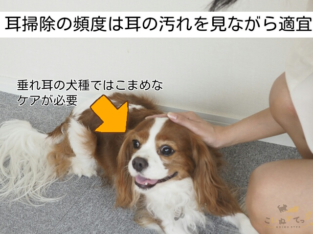 子犬の耳掃除の頻度は汚れを見ながら決める