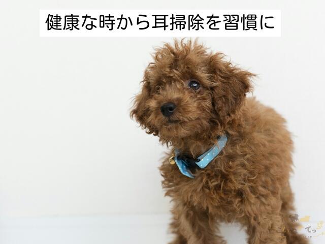 耳のトラブルを起こす前に子犬の耳掃除をはじめるのが大事
