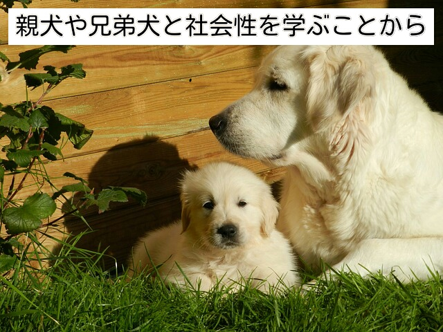 親犬や兄弟犬とのコミュニケーションで社会性を身に着ける