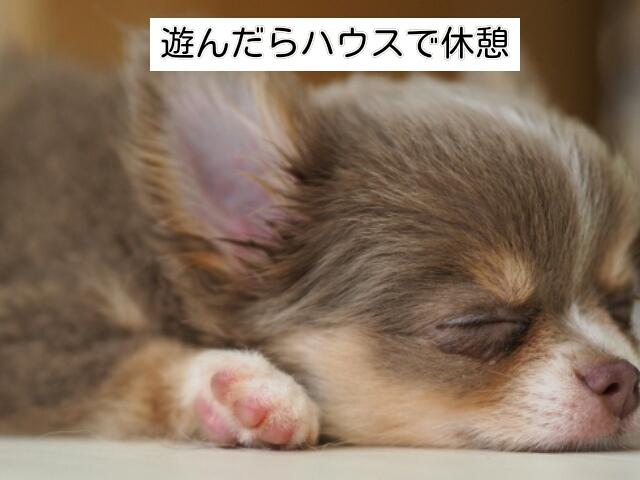 遊びを楽しんだら、子犬をハウスでゆっくり休ませる