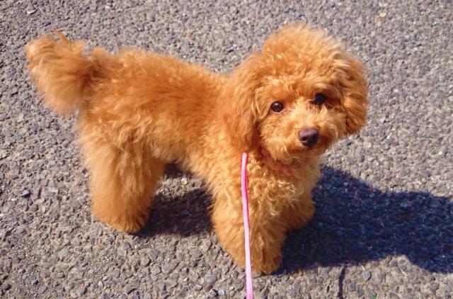 路面に近いところを歩くため、熱中症対策が必要な子犬