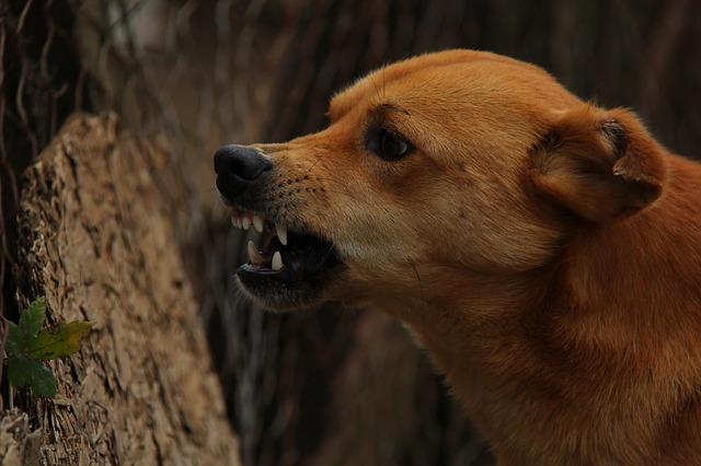 恐怖や怒りを感じて、噛む前に表情を変える犬