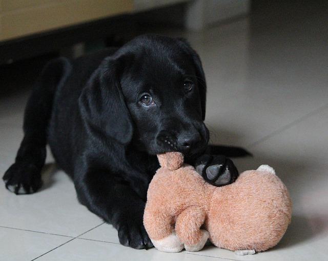 雨で外で遊べないので室内で遊ぶ犬