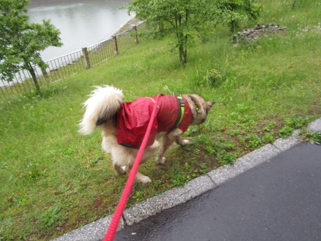 雨の日の散歩を楽しむ犬