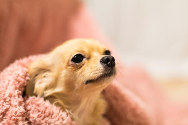 雷を怖がる犬のために用意しておきたい毛布