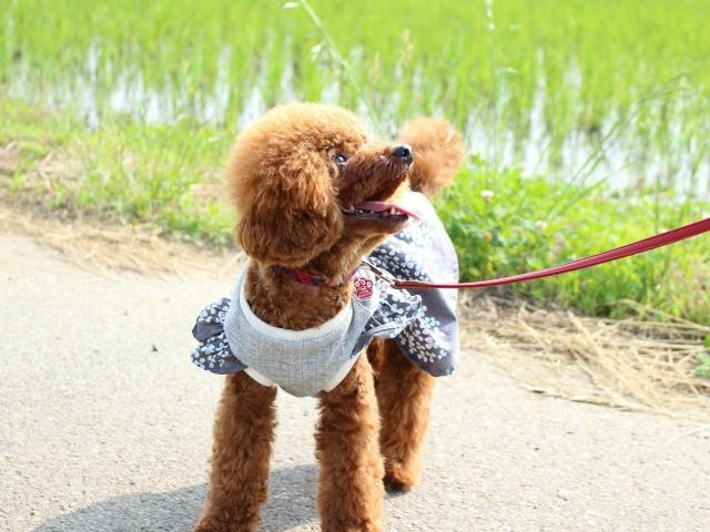 子犬に必要なお世話のひとつ、散歩