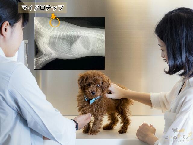 マイクロチップを挿入するために動物病院を訪れた子犬