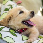 子犬が歯磨きを嫌がらなくなるコツと練習方法!【獣医師監修】
