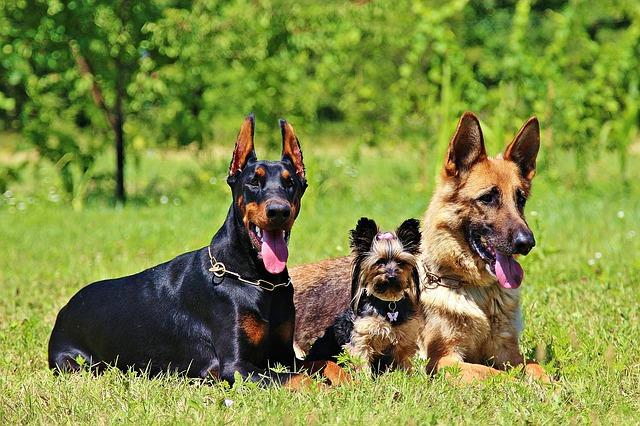 胃拡張・胃捻転症候群になりやすい犬種