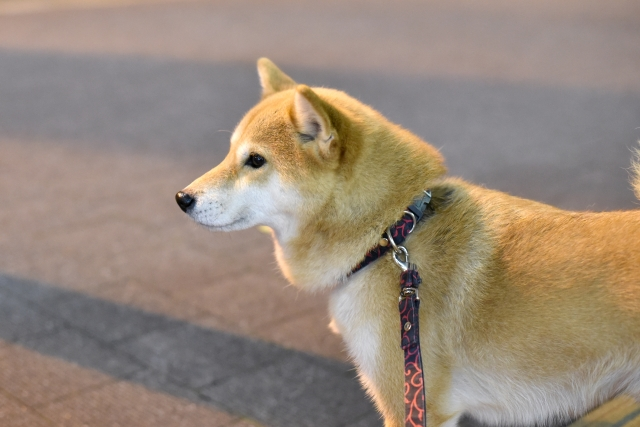 胃拡張・胃捻転症候群にならないようにゆっくり散歩をする犬