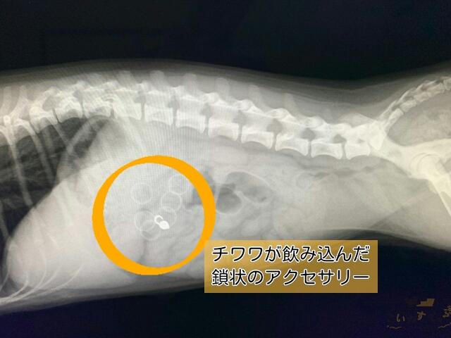 アクセサリーを誤飲した犬のレントゲン写真