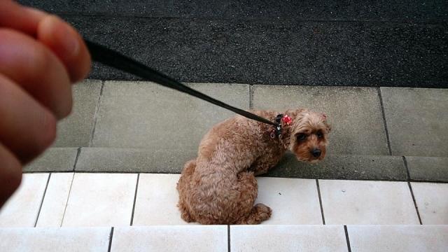 拾い食いしようとしていたけど飼い主に呼ばれて振り向いた犬