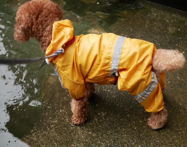 水たまりに気を付けて雨の日の散歩をする犬