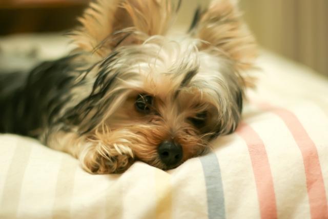 犬の留守番環境づくりに必要なベッド