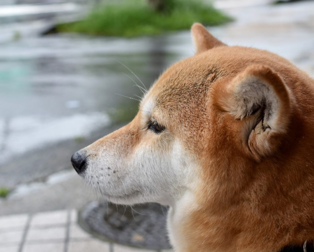 雨の日に散歩に行くか悩む犬