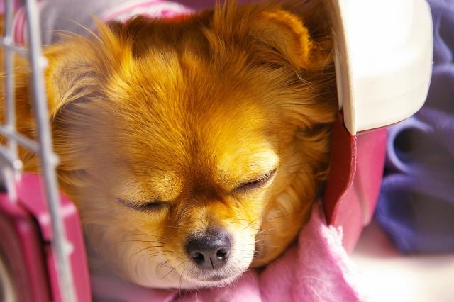 クレートで寝ている子犬