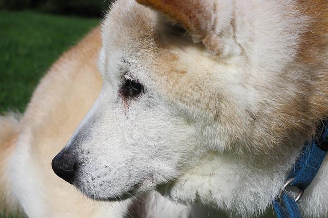歯周病で歯肉が痛くて歯磨きを嫌がる犬