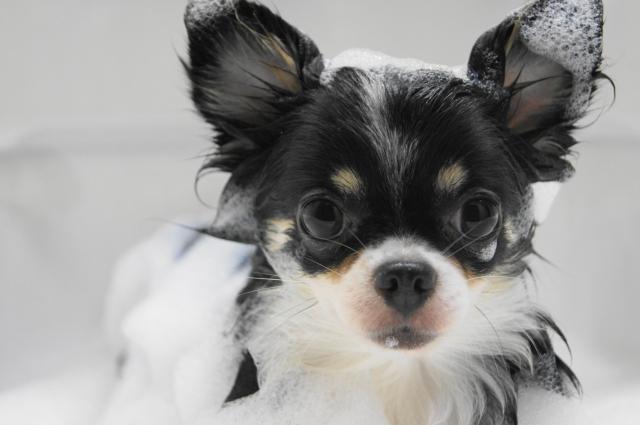 シャンプーの頻度が2週間に1度の犬