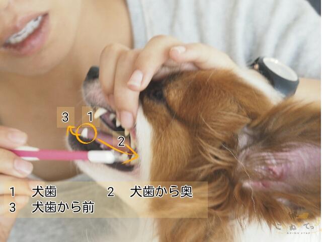 歯磨きを嫌がるので歯ブラシの練習をしている犬
