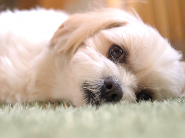 乾燥による眼のトラブルが心配な犬