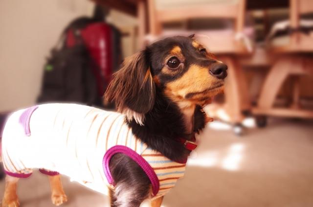 体格にあった服を着せることが必要な犬