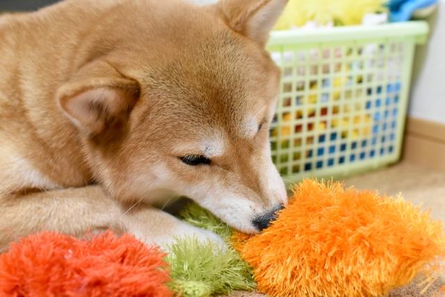 においが気になる部屋で遊ぶ犬
