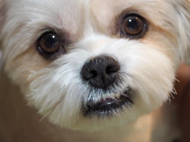 乾性角結膜炎(KCS)の診断のために必要な目の検査を受ける前の犬