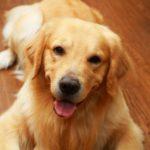 犬に多い皮膚病、アトピー性皮膚炎の愛犬との暮らしで知っておきたいこと【獣医師監修】