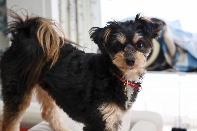 乾性角結膜炎(KCS)の治療をした犬