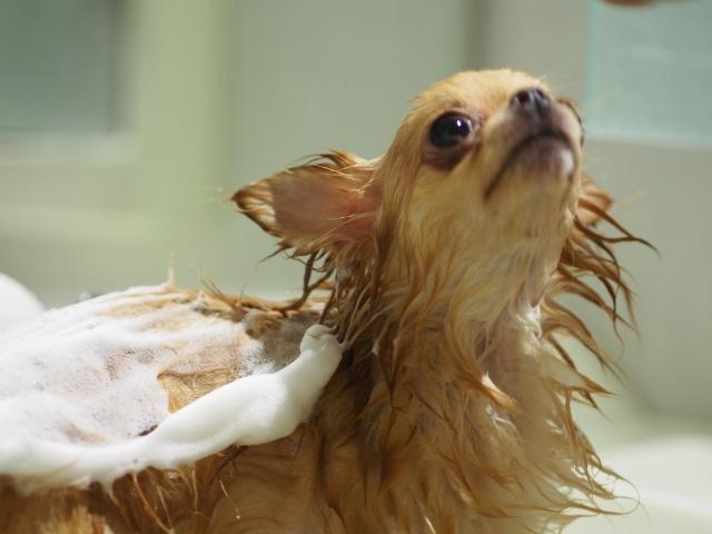 犬のアトピー性皮膚炎の治療として大事なシャンプー