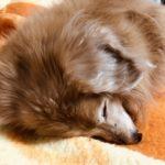 シニア犬と長く快適に暮らしたい!自宅の環境整備のポイント