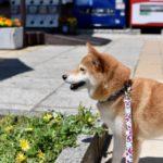 愛犬とドライブを楽しみたい!安全のための注意点【獣医師監修】