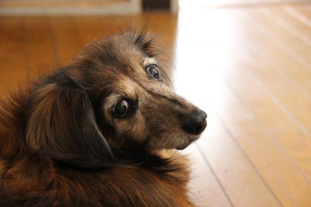 高齢でも狂犬病ワクチンをうける犬